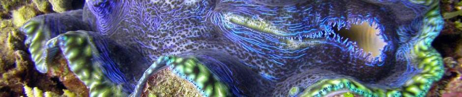 Гигантская тридакна (лат. Tridacna gigas) (англ. Giant clam)
