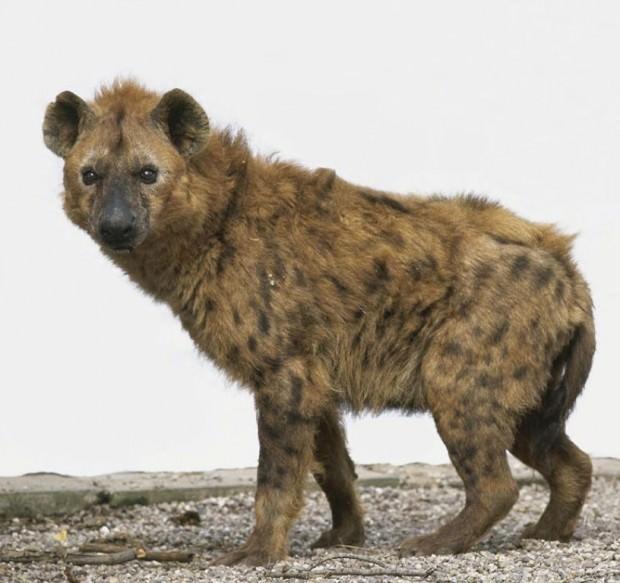 Пятнистая гиена или крокута (лат. Crocuta crocuta) (англ. Spotted hyena)