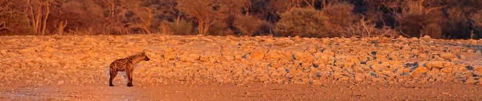 Пятнистая гиена или крокута (лат. Crocuta crocuta)