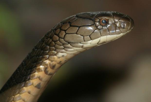 Королевская кобра или гамадриад (лат. Ophiophagus hannah) (англ. King Cobra)
