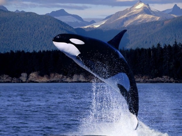 Косатки (лат. Orcinus orca) (англ. Ocra whale or Killer Whale)