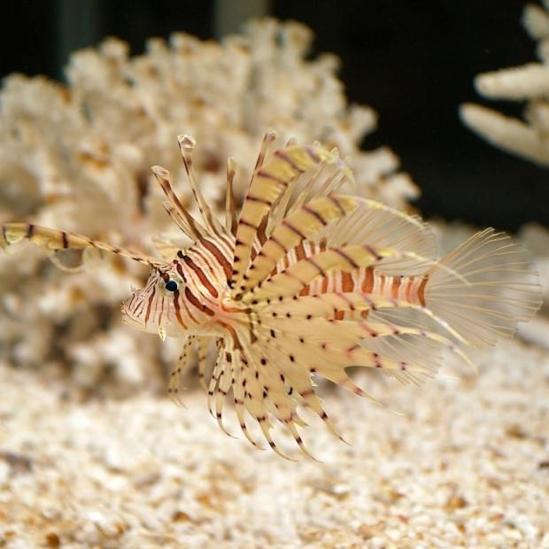 Полосатая крылатка или рыба-лев (лат. Pterois volitans) (англ. Common Lionfish)