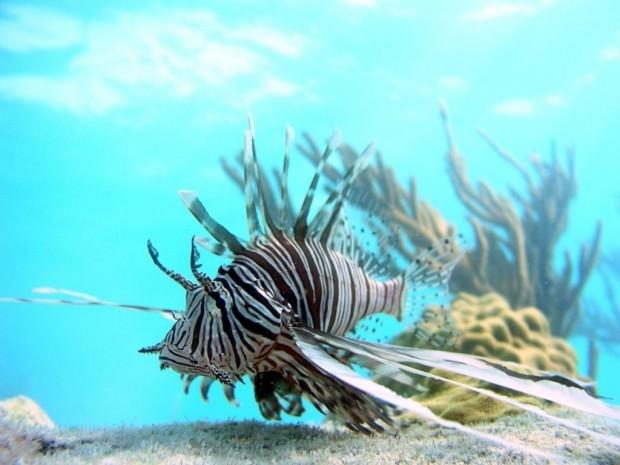 Полосатая крылатка или рыба-лев (лат. Pterois volitans) (англ. Common Lionfish)