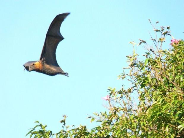 Большая летучая лисица или калонг (лат. Pteropus vampyrus) (англ. Large Flying Fox)