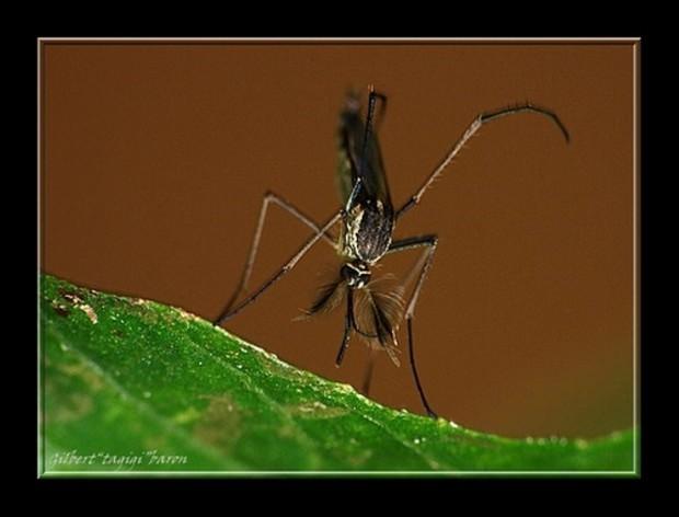 Малярийные комары или анофелесы (лат. Anopheles) (англ. Malaria mosquito)