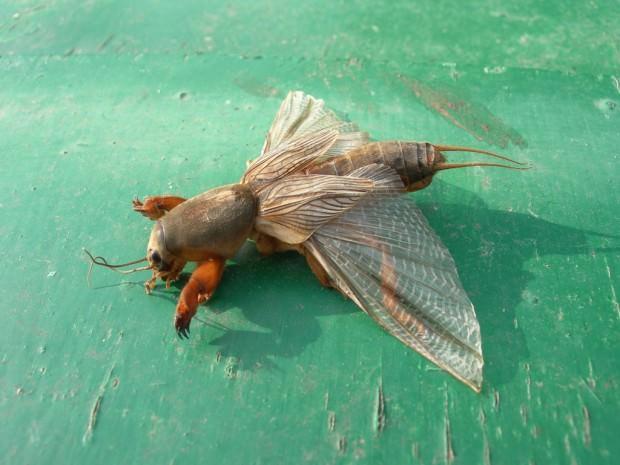 Медведка обыкновенная (лат. Gryllotalpa gryllotalpa) (англ. Mole Cricket)