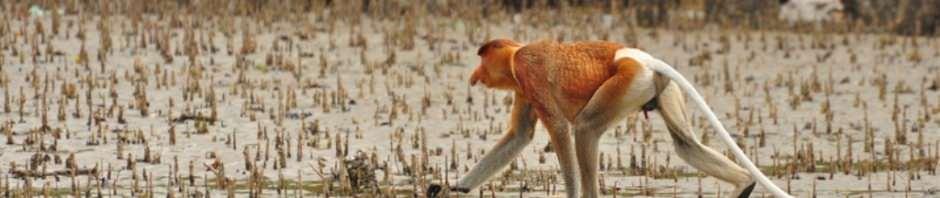 Носачи или кахау (лат. Nasalis larvatus) (англ. Proboscis Monkey)