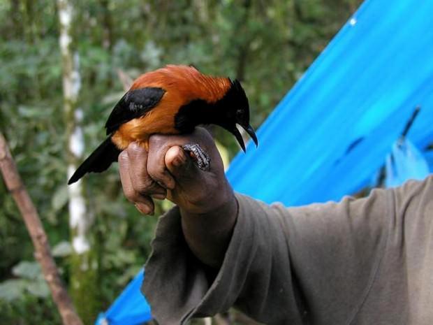 Ядовитые птицы – Двуцветный питоху (лат. Pitohui dichrous) и  Синеголовая ифрита ковальди (лат. Ifrita kowaldi)