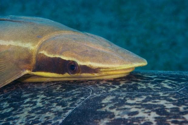 Прилипалы (лат. Echeneidae)