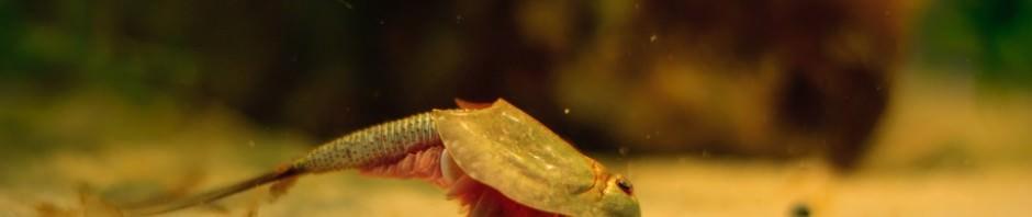 Щитни (лат. Triopsidae)