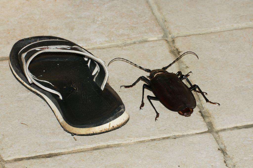 фото дровосек жук