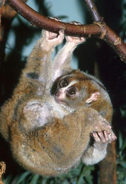 Маленький толстый лори (лат. Nycticebus coucang) (англ. Slow loris)