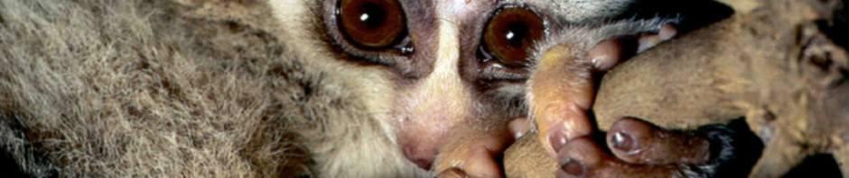Маленький толстый лори (лат. Nycticebus coucang)