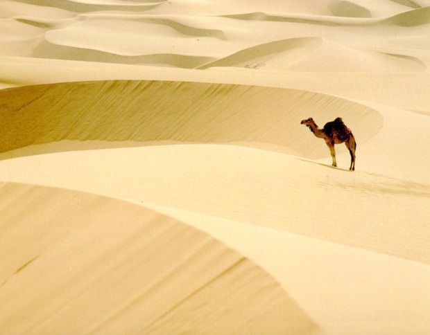 Верблюд в жаркой пустыне