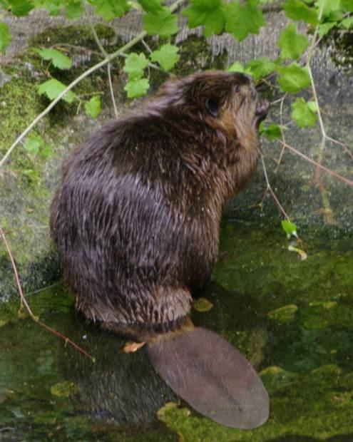 Бобры (лат. Castoridae) (англ. Beaver)