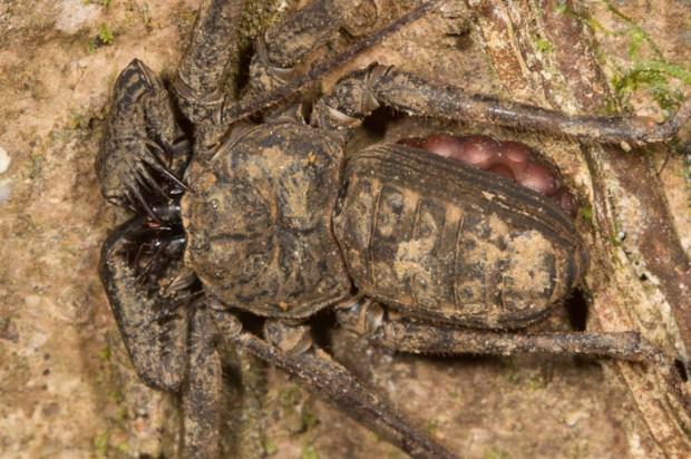 Фрины – бесхвостые скорпионы?