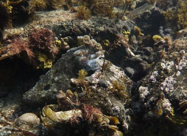 Гигантская австралийская каракатица (лат. Sepia apama) (англ. Giant Australian Cuttlefish)