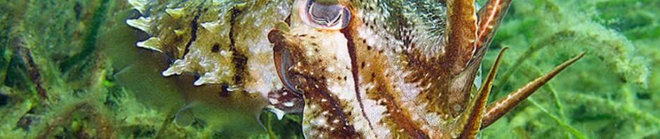 Гигантская австралийская каракатица (лат. Sepia apama)