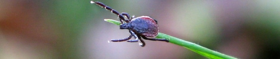 Искодовые клещи (лат. Ixodidae) (англ. Ticks)