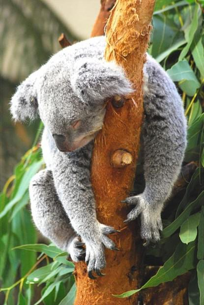 Коалы (лат. Phascolarctos cinereus) (англ. Koala)