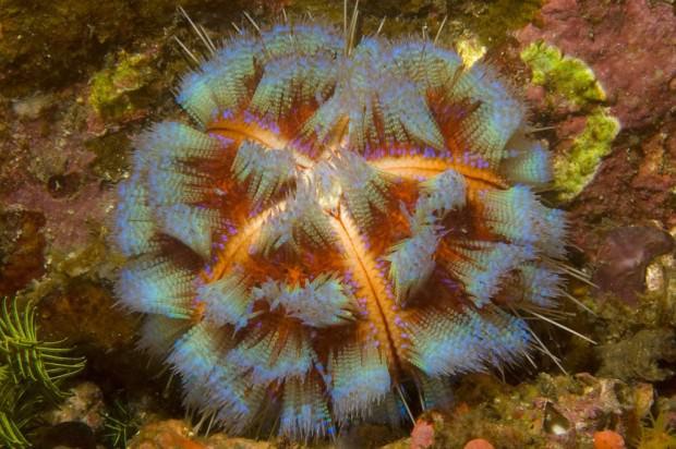 Иглоподушечный морской еж или  огненный еж  (Asthenosoma varium) (англ. Fire Urchin)