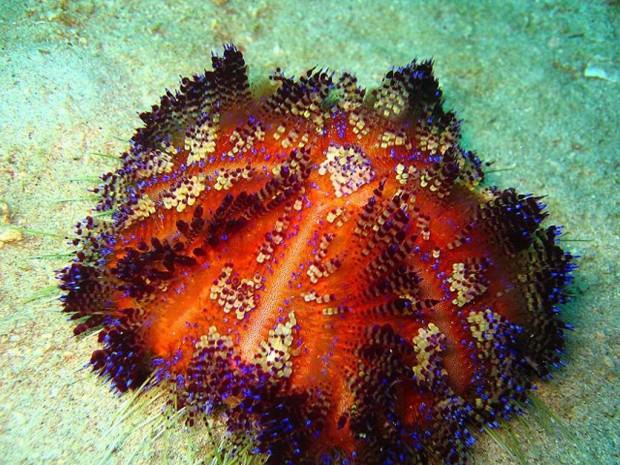 Иглоподушечный морской еж ил  огненный еж  (Asthenosoma varium) (англ. Fire Urchin)