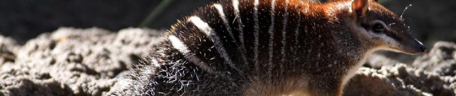 Намбат или сумчатый муравьед (лат. Myrmecobius fasciatus)