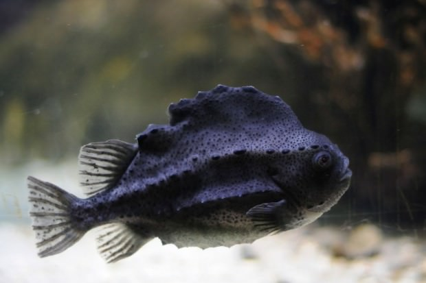 Пинагор или рыба-воробей (лат. Cyclopterus lumpus) (англ. Lumpfish)