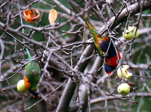 Радужный или многоцветный лорикет (лат. Trichoglossus haematodus)(англ. Rainbow Lorikeet)