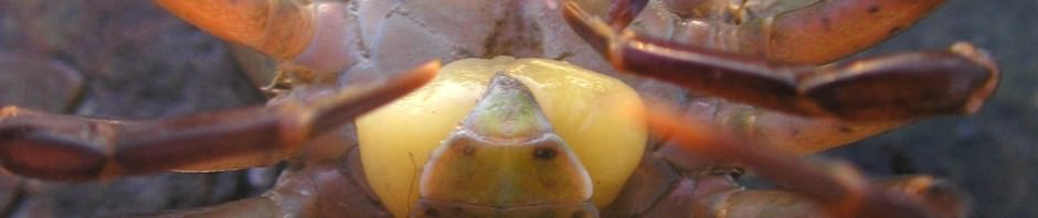 Саккулина (лат. Sacculina carcini)