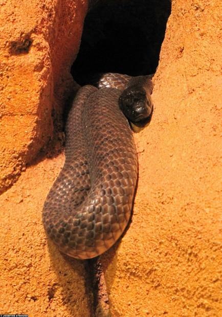 Жестокая (свирепая) змея или внутриматериковый тайпан(лат. Oxyuranus microlepidotus)