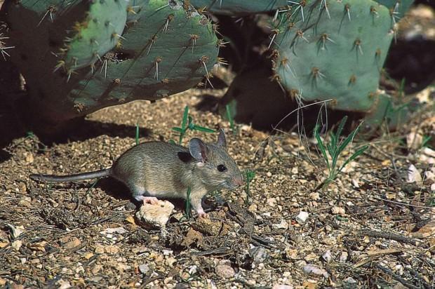 Лесные хомяки или древесные крысы (лат. Neotoma) (англ. Woodrat)