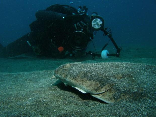Морской ангел или европейская скватина (лат. Squatina squatina) (англ. Angel shark)