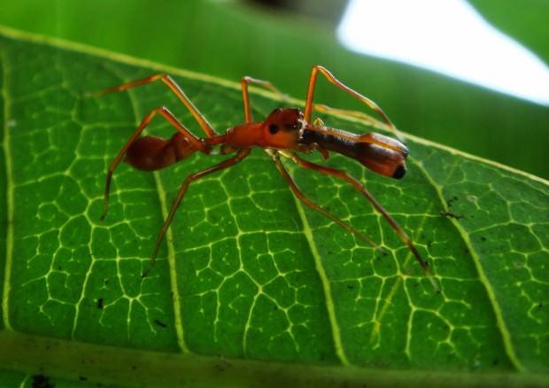 Пауки-муравьи (лат. Myrmarachne) (англ. Ant-mimicking jumping spider)