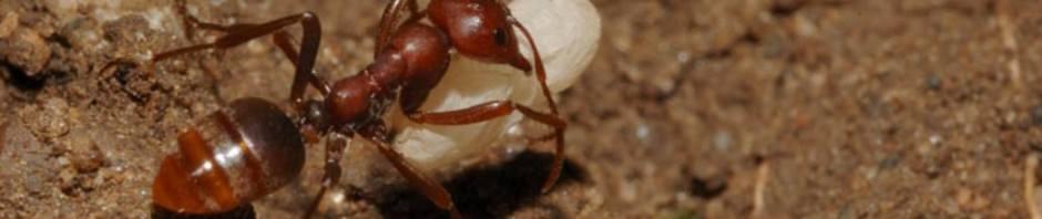 Муравьи-амазонки или муравьи-рабовладельцы (лат. Polyergus)