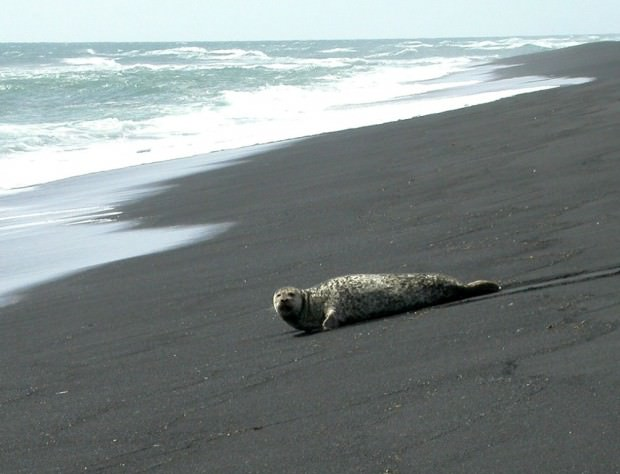 Тюлень-хохлач (лат. Cystophora cristata) (англ. Hooded Seal)