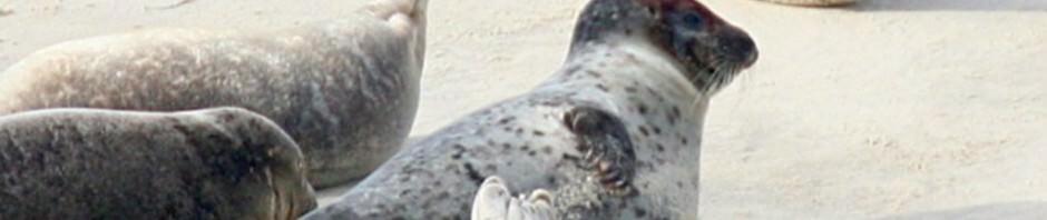 Тюлень-хохлач (лат. Cystophora cristata)