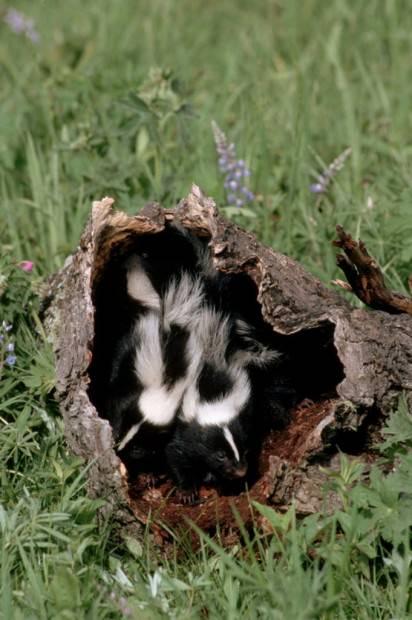 Полосатый скунс (лат. Mephitis mephitis) (англ. Striped skunk)
