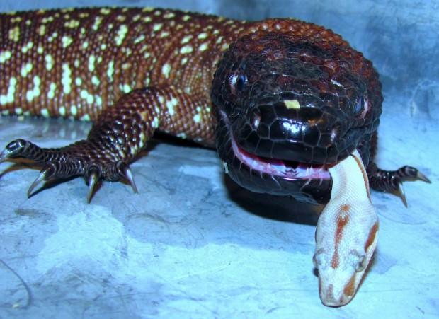 Ядозубы (лат. Helodermatidae) (англ. Beaded  Lizard)