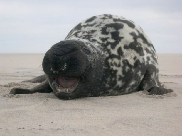 Тюлень-хохлач (лат. Cystophora cristata) (англ. Hooded Seal)