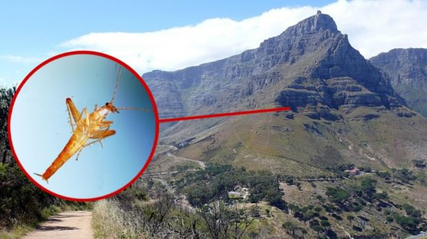 Прыгающий таракан Saltoblattella montistabularis и таракан-носорог Macropanesthia rhinoceros