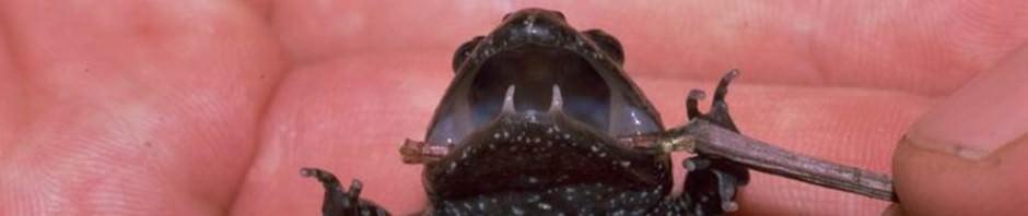 Жерлянкоподобная лягушка (лат. Adelotus brevis)