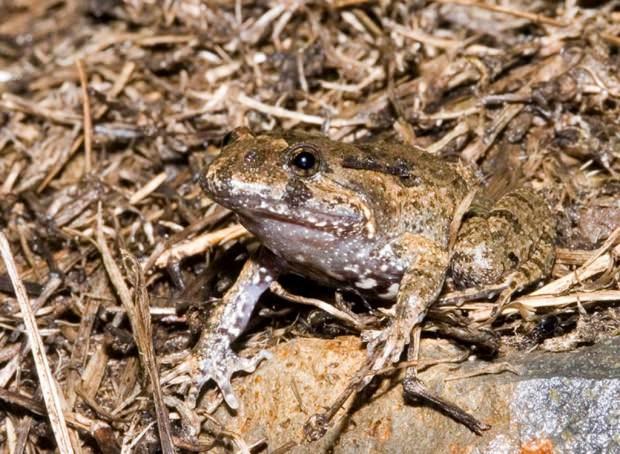 Жерлянкоподобная лягушка (лат. Adelotus brevis) (англ. Tusked frog)