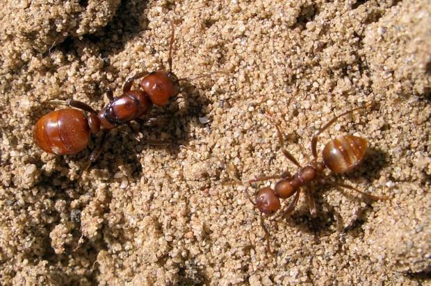 Муравьи-амазонки или муравьи-рабовладельцы (лат. Polyergus) (англ. Amazon ants)