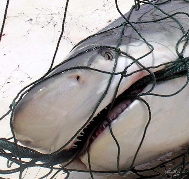 Темная или сумеречная акула (лат. Carcharhinus obscurus) (англ. Dusky shark)