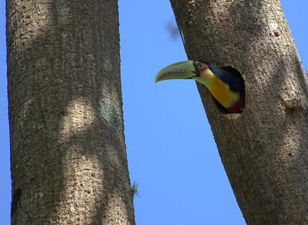 Туканы (лат. Ramphastidae) (англ. Toucan)
