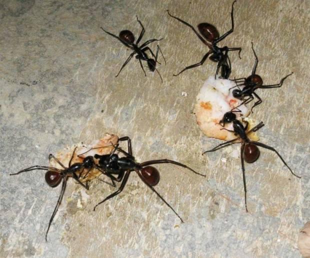 Малазийский гигантский муравей (лат. Camponotus gigas) (англ. Malaysian giant ant)