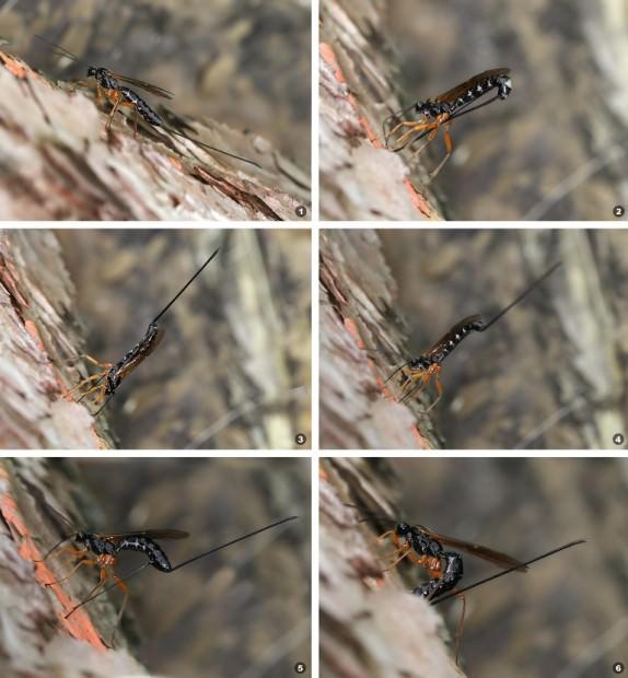Наездники-ихневмониды или настоящие наездники (лат. Ichneumonidae)