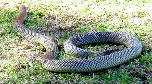 Топ-20 самых опасных животных Австралии. Часть 1.