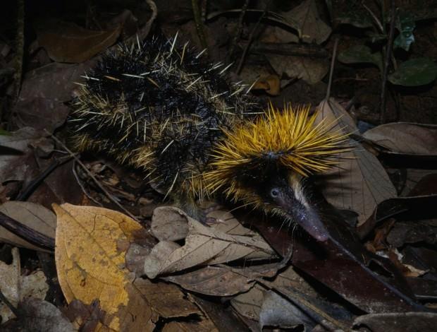 Полосатый тенрек (лат. Hemicentetes semispinosus) (англ. Streaked tenrec)
